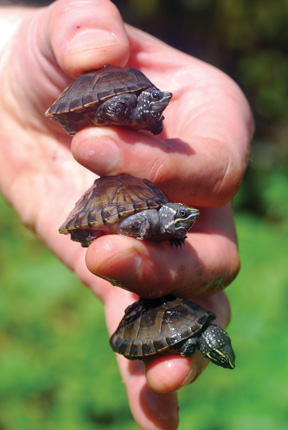 Tortoise Trust Web - Care and Breeding of Musk Turtles