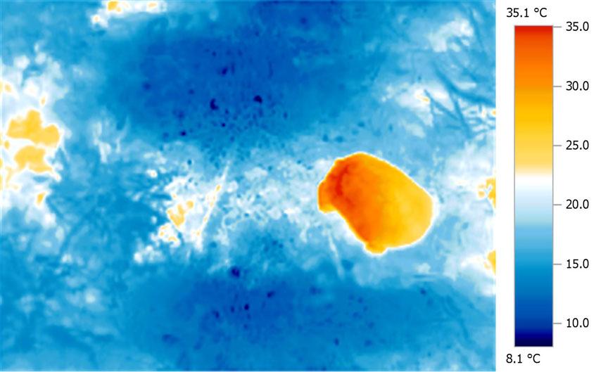 Wild                       Testudo graeca - Note even heat distribution