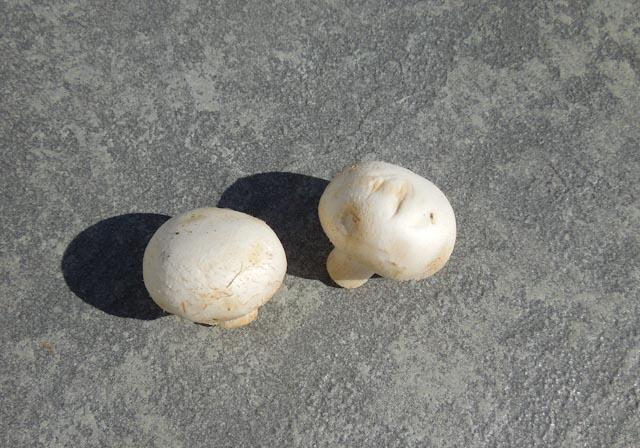 Fresh mushrooms before test