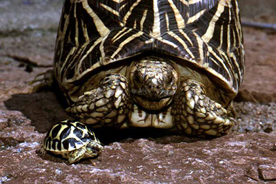 Mother and daughter Star tortoises.