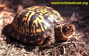 Terrapene c. carolina - Eastern Box Turtle