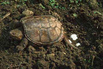 Where Do Painted Turtles Lay Their Eggs