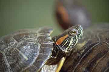 Tortoise Trust Web - Red-Eared Slider Care