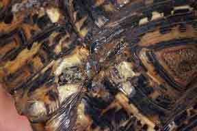 Sulcata Shell Rot Related Keywords & Suggestions - Sulcata