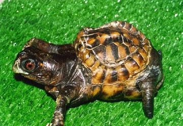 Tortoise Trust Web - Feeding your tortoise